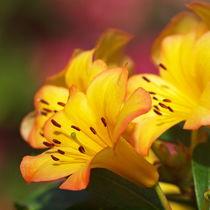 Rhododendron, vireya, Blütenmakro von Dagmar Laimgruber