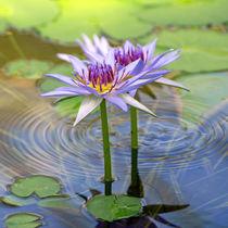 Seerosen-Blüten, waterlily, Lotus, Spa by Dagmar Laimgruber