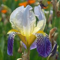 Schwertlilie (Iris), Blütenmakro by Dagmar Laimgruber