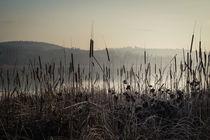 Rohrkolben im Naturschutzgebiet Mettnauspitze von Christine Horn
