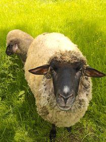 Shaun das Schaf von smk