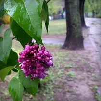 lilac flower in the rain von feiermar