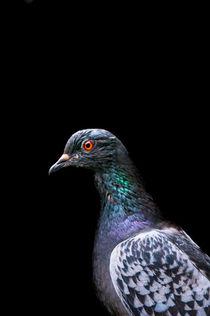 Stadttaube – Vogelportrait – Fotografie von elbvue von elbvue