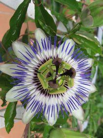 Passionsblume, Blüte von Klaus Meyer