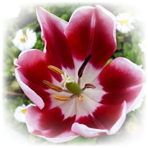 bright red tulip by feiermar