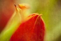 Tulpenblüte Farbspiel II by Petra Dreiling-Schewe