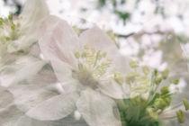 Apfelblüte in Bermatingen - Bodensee von Christine Horn