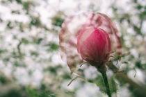 Apfelblüte in Bermatingen II - Bodensee von Christine Horn