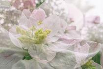Apfelblüte in Bermatingen III - Bodensee von Christine Horn