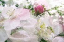 Apfelblüte in Bermatingen IV - Bodensee von Christine Horn