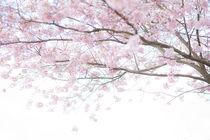 Zarte Kirschblüte, Teil 2 von Iryna Mathes