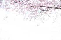 Zarte Kirschblüte, Teil 1 von Iryna Mathes