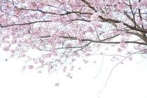 Zarte Kirschblüte, Teil 3 von Iryna Mathes