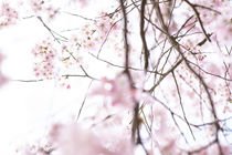 Kirschenblüten abstrakt von Iryna Mathes
