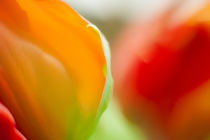 Tulpenblüte Farbspiel by Petra Dreiling-Schewe