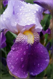 Raindrops on Iris von feiermar