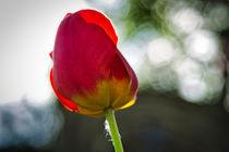 Tulpe im Gegenlicht von Kilian Schloemp