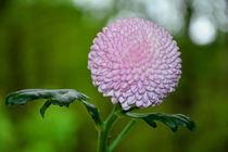 Zauberhafte Blüte von Claudia Evans
