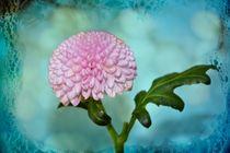 Rosa Blüte von Claudia Evans