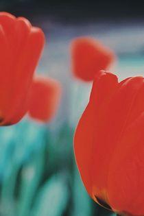 Garden tulips by Andrei Grigorev