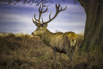 Lone stag deer with antlers by Steve Mantell