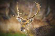Portrait of young red deer von Steve Mantell