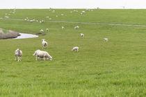 Schafe am Deich von Heidi Bollich