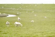 Schafe in Ostfriesland von Heidi Bollich