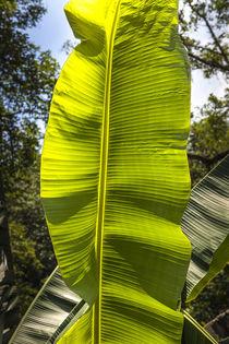 banana leaf by césarmartíntovar cmtphoto