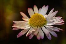 Gänseblümchen von Claudia Evans