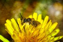 Biene auf Blüte von Claudia Evans