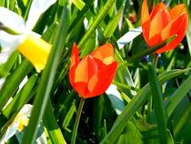 Tulpen rot von Zarahzeta ®
