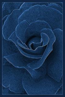 Velvet blue rose von feiermar
