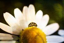 Gelber Marienkäfer auf Blüte von Claudia Evans