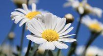 Sommerblumen von Ingrid Bienias