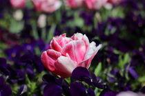Rosa Rose by Zarahzeta ®