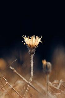 Habichtskraut by Mike Ahrens