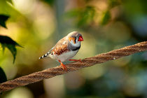 The wonderful african finch by Michael Naegele