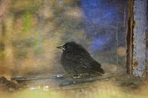 Junger Vogel  ( Hausrotschwanz )   am alten Fenster von Claudia Evans
