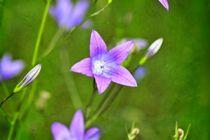 Rapunzel-Glockenblume von Claudia Evans