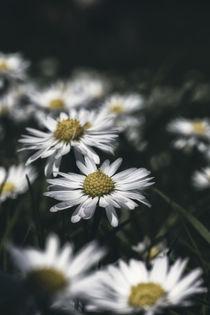 Gänseblümchen by Mike Ahrens