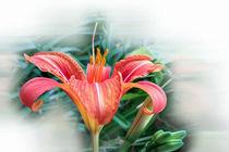 orange lily von feiermar