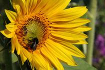 Leuchtende farbenfrohe Sonnenblume mit Hummeln Bienen Optimismus Lebensfreude by Christine Maria Grosche