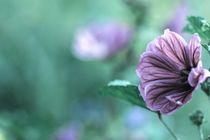 Malven Blüten Wildblumen  Wildkräuterküche Postkartenmotiv von Christine Maria Grosche