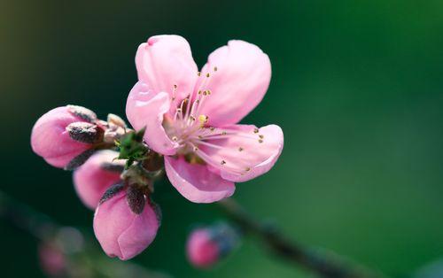 Pfirsichbluten-3