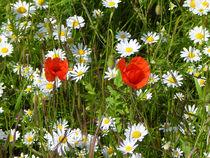 Blumenwiese von Zarahzeta ®