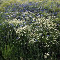 Blühstreifen von Irmtraut Prien