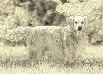 Digital Art Golden Retriever by kattobello