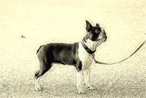 Digital Art Boston Terrier von kattobello