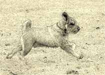 Digital Art Rennender Zwergschnauzer von kattobello
